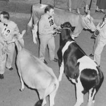 1953 Livestock Exhibition