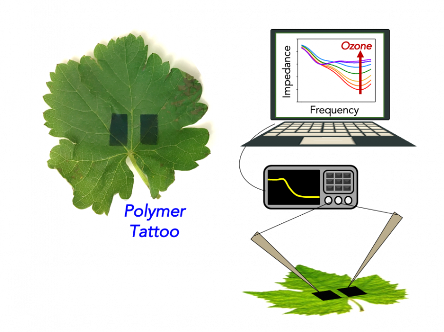 An illustration of how ozone is detected via the polymer tattoo on a leaf