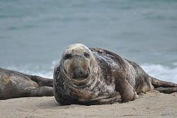Marine mammals such as the gray seal are one of many species that have been placed under severe stress by climate change.