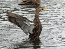 Mottled duck. Photo: Dick Daniels