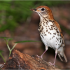 Wood Thrush (Photo: K. C. Azar)