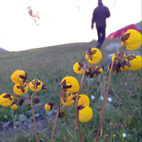 alpine flowers seen while backpacking in the Chilean Andes in January of 2017