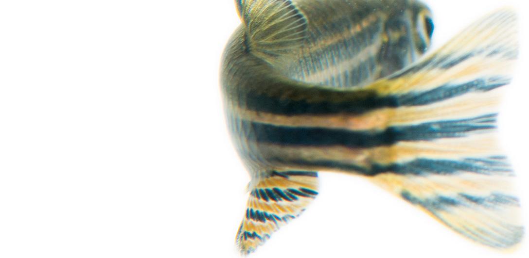 zebra fish tail