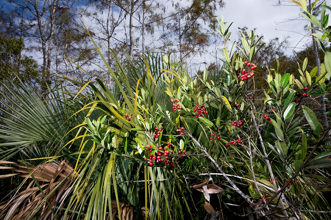 Red plants in the Everglades