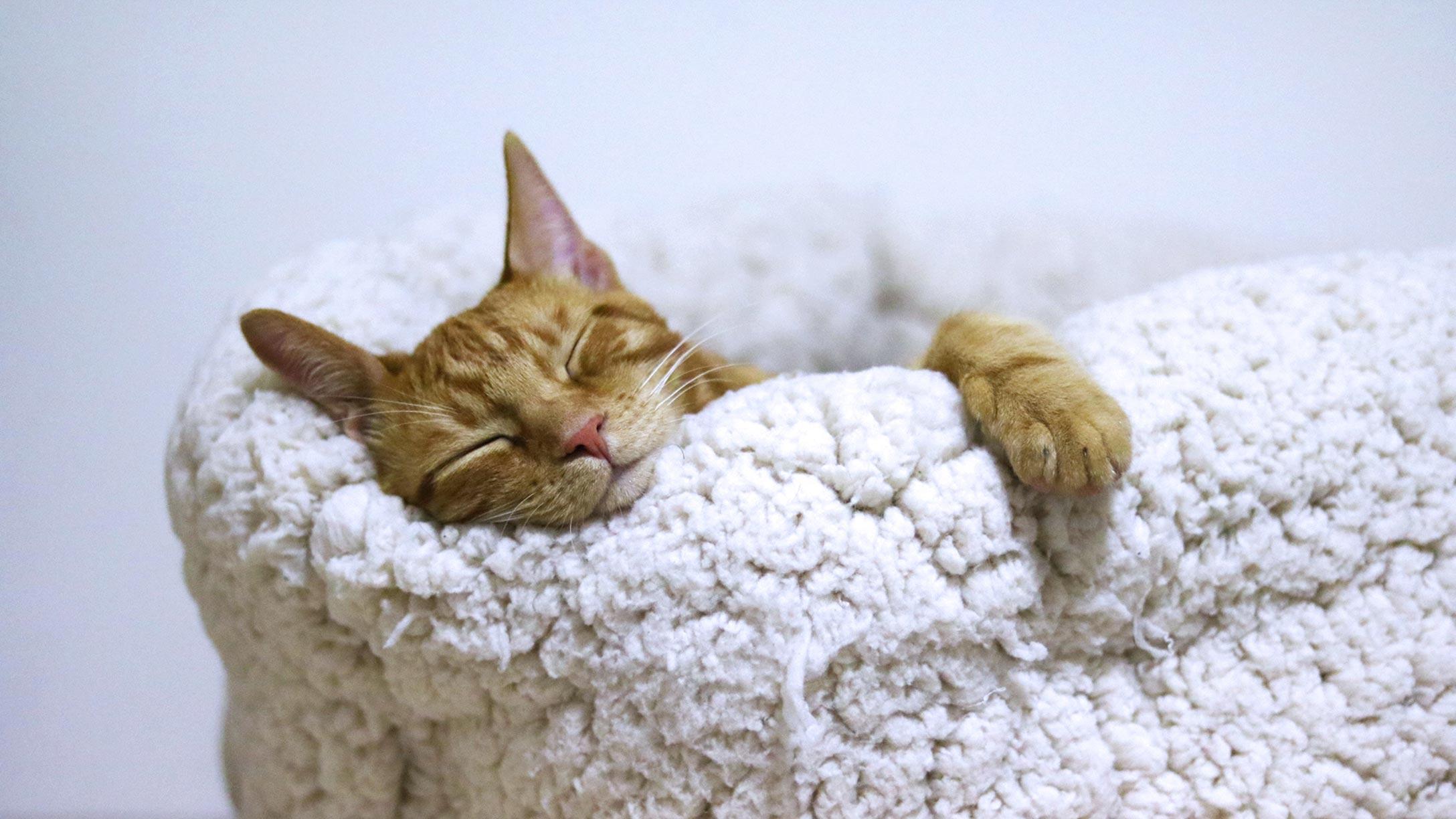 Orange tabby cat asleep in a white fleece bed