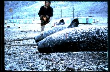 The tastiest Inuit food according to Wilce? Mattaq, the layer of skin and blubber from a narwhal. Ellesmere Island, 1965.