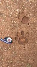 UMass Amherst PhD student Carolina Sáenz-Bolaños photo of a jaguar print larger than her wristwatch