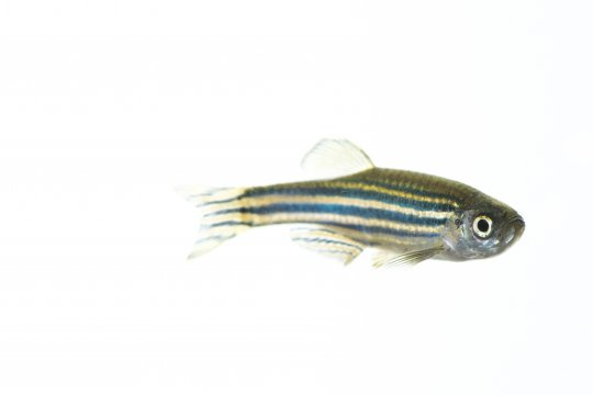 Zebra Fish at UMass Amherst