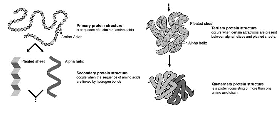 Primary  Secondary  Tertiary and Quaternary Protein StructureTertiary Structure Of Protein