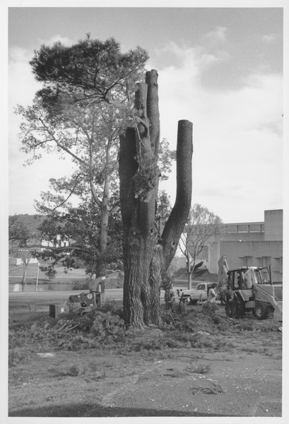 Class of 1878 Class Tree being chopped down and removed, ca. 1990
