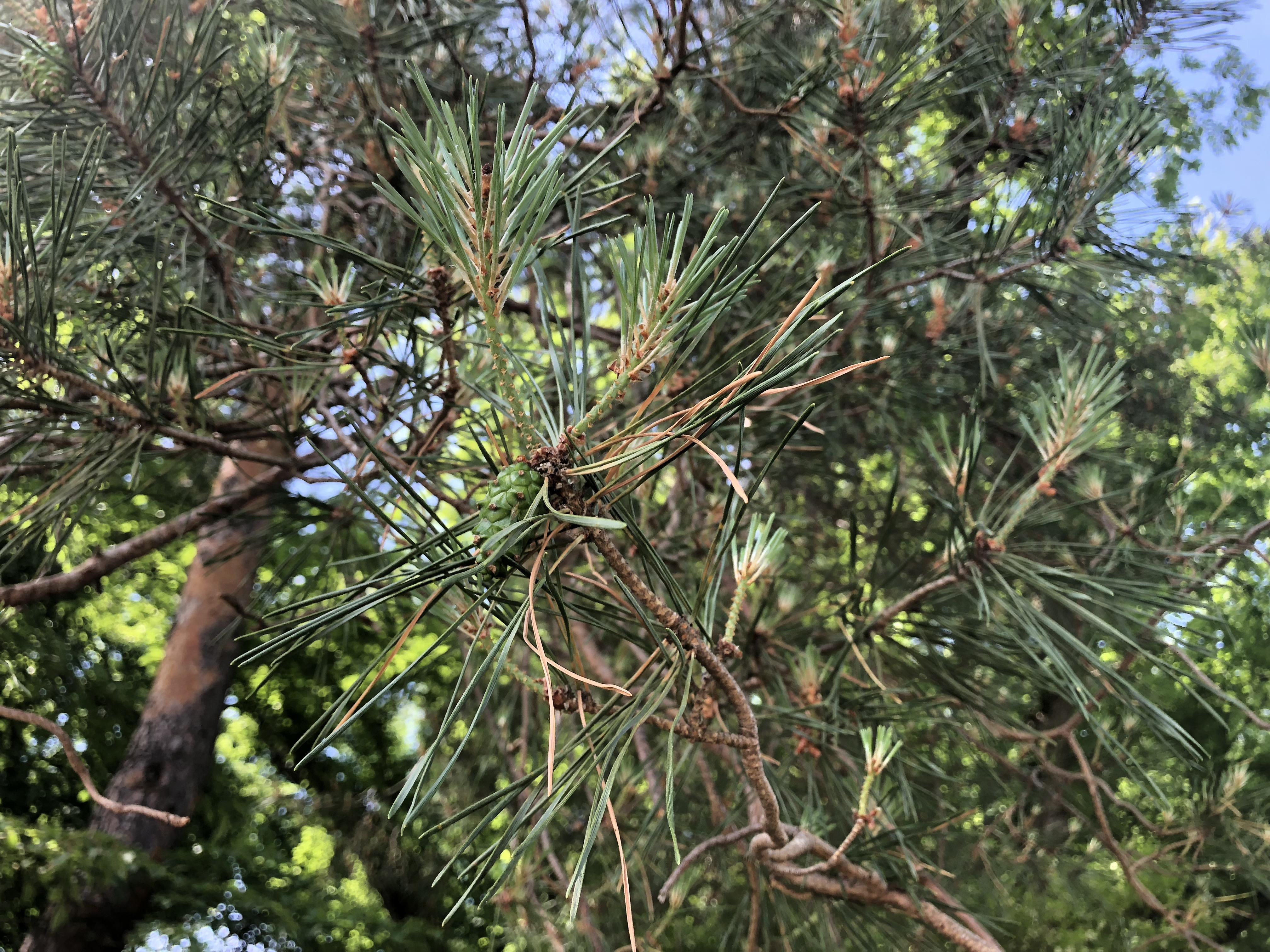 Robert P. Holdsworth Scots Pine