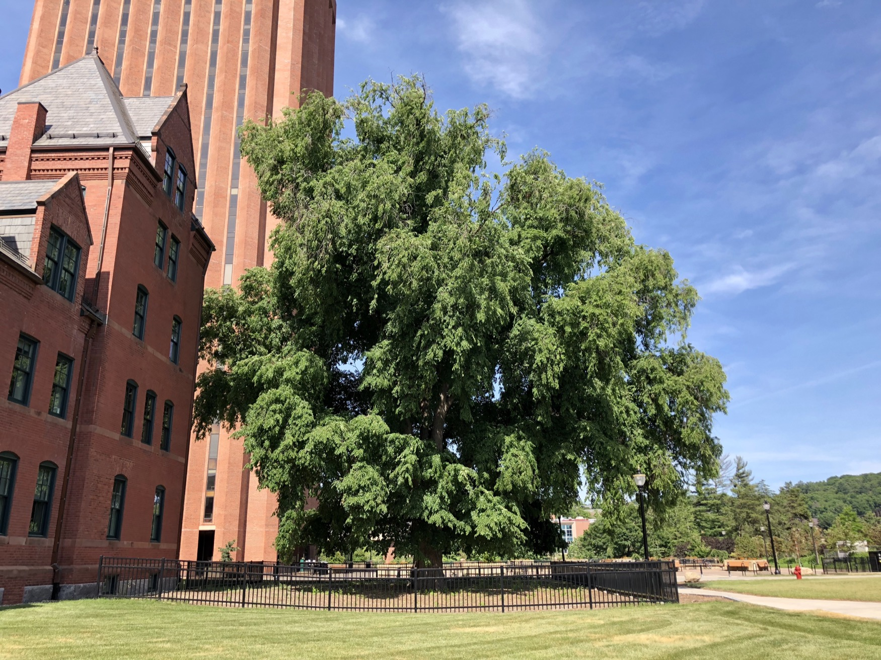 Massachusetts Agricultural College Class Tree of 1899