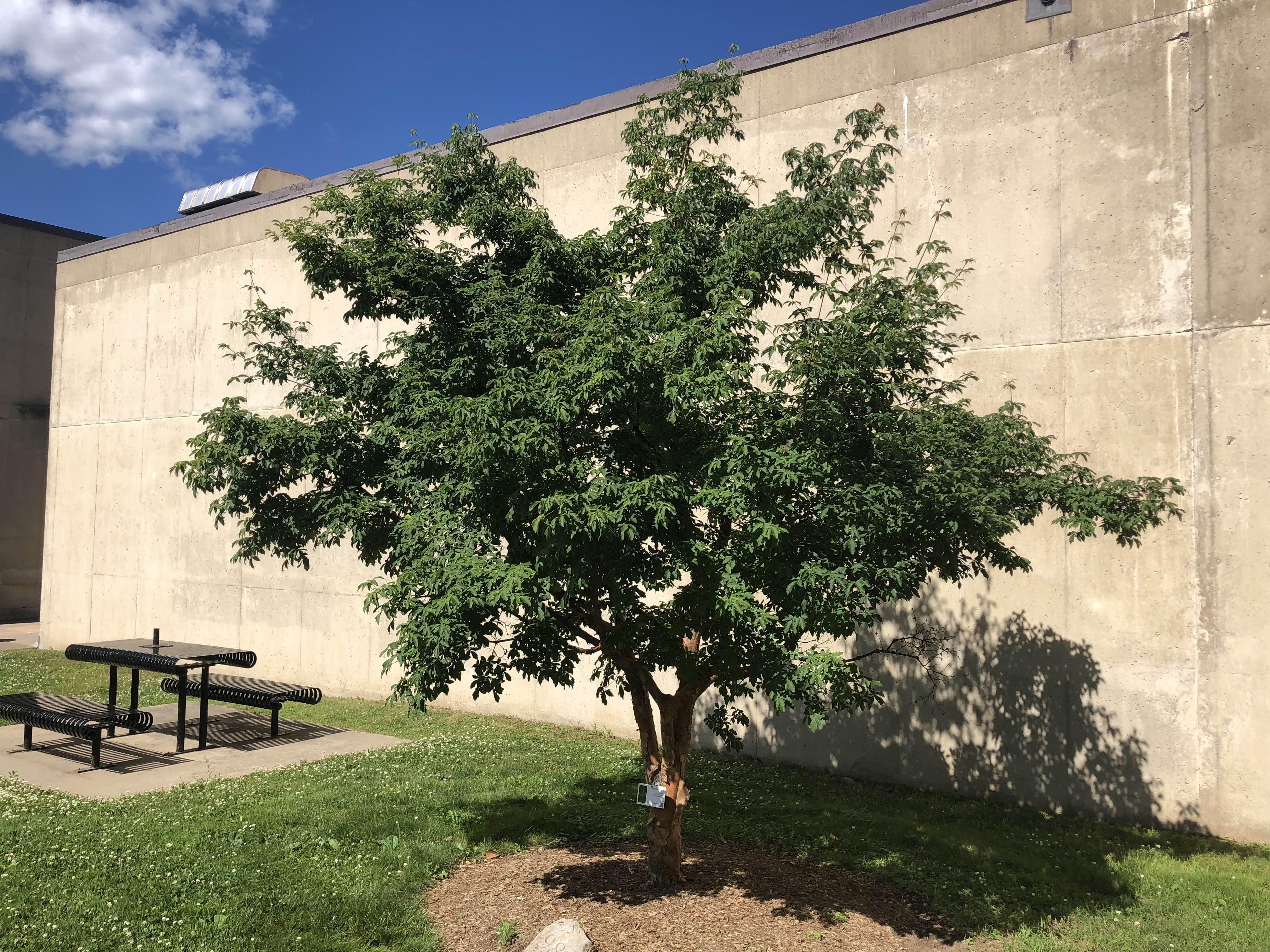 1998 UMA Paperbark Maple Class Tree