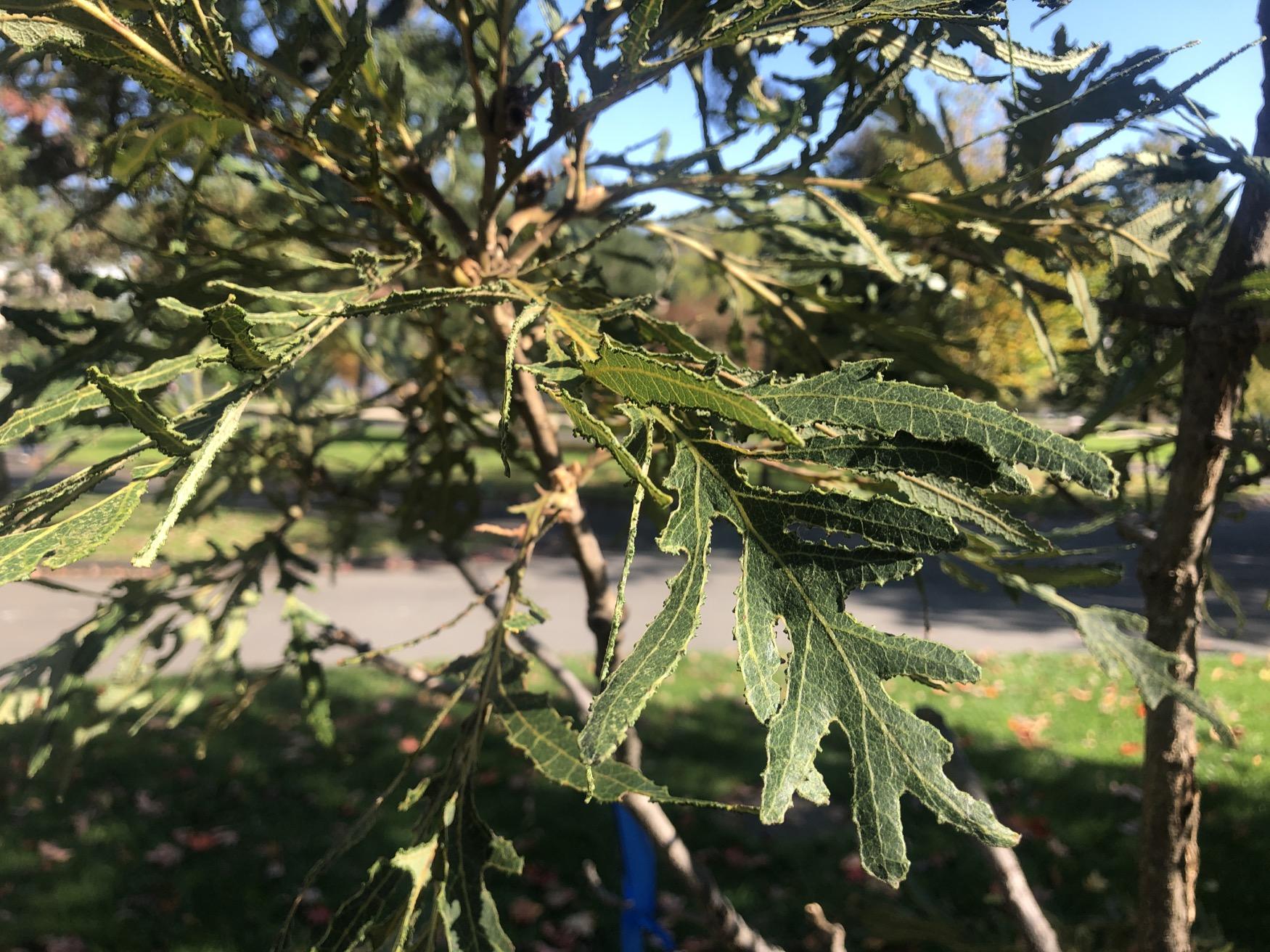 Peter Paul Laurenza Tribute Tree