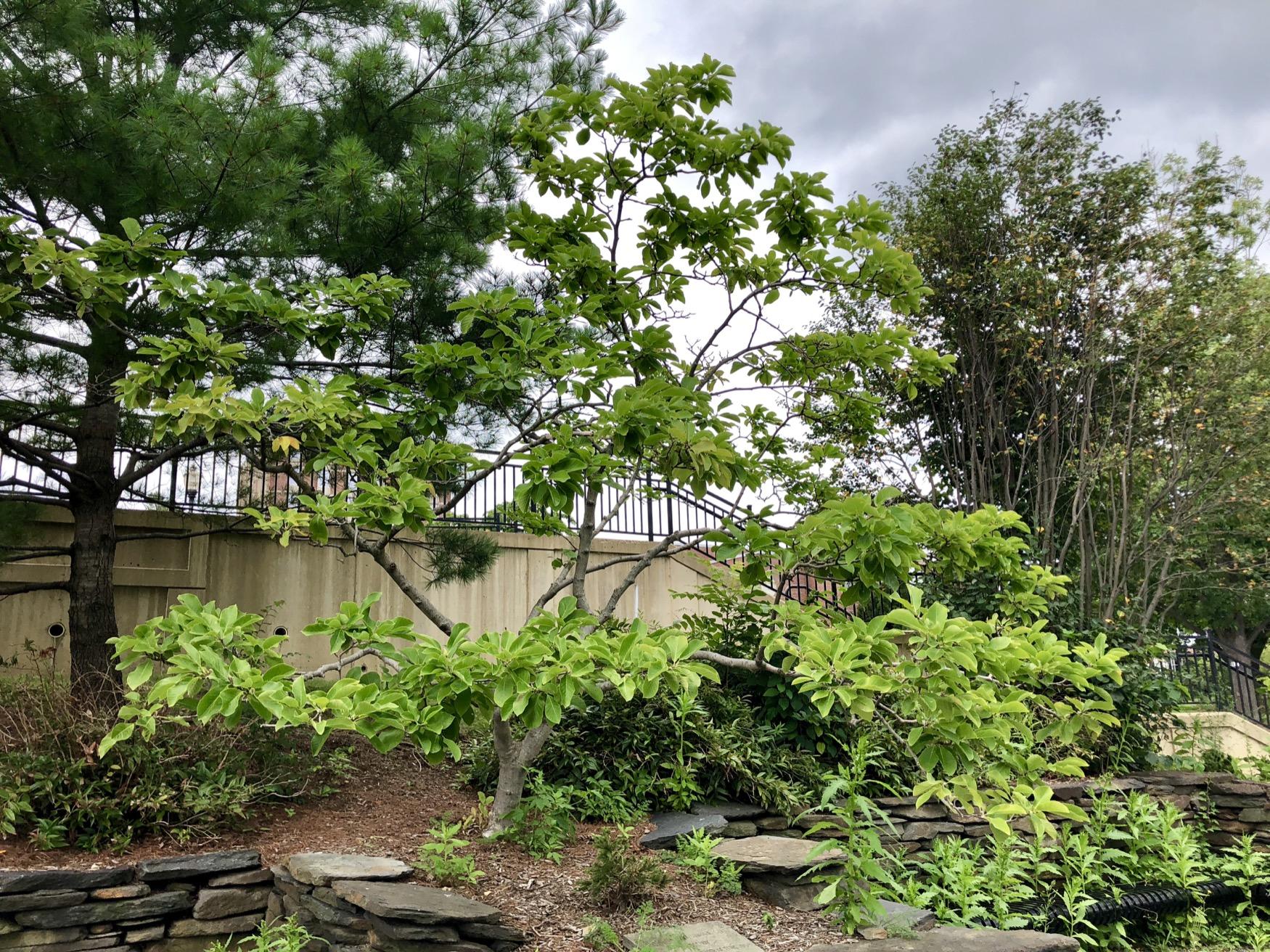 1997 UMA Class Yellowbird Magnolia