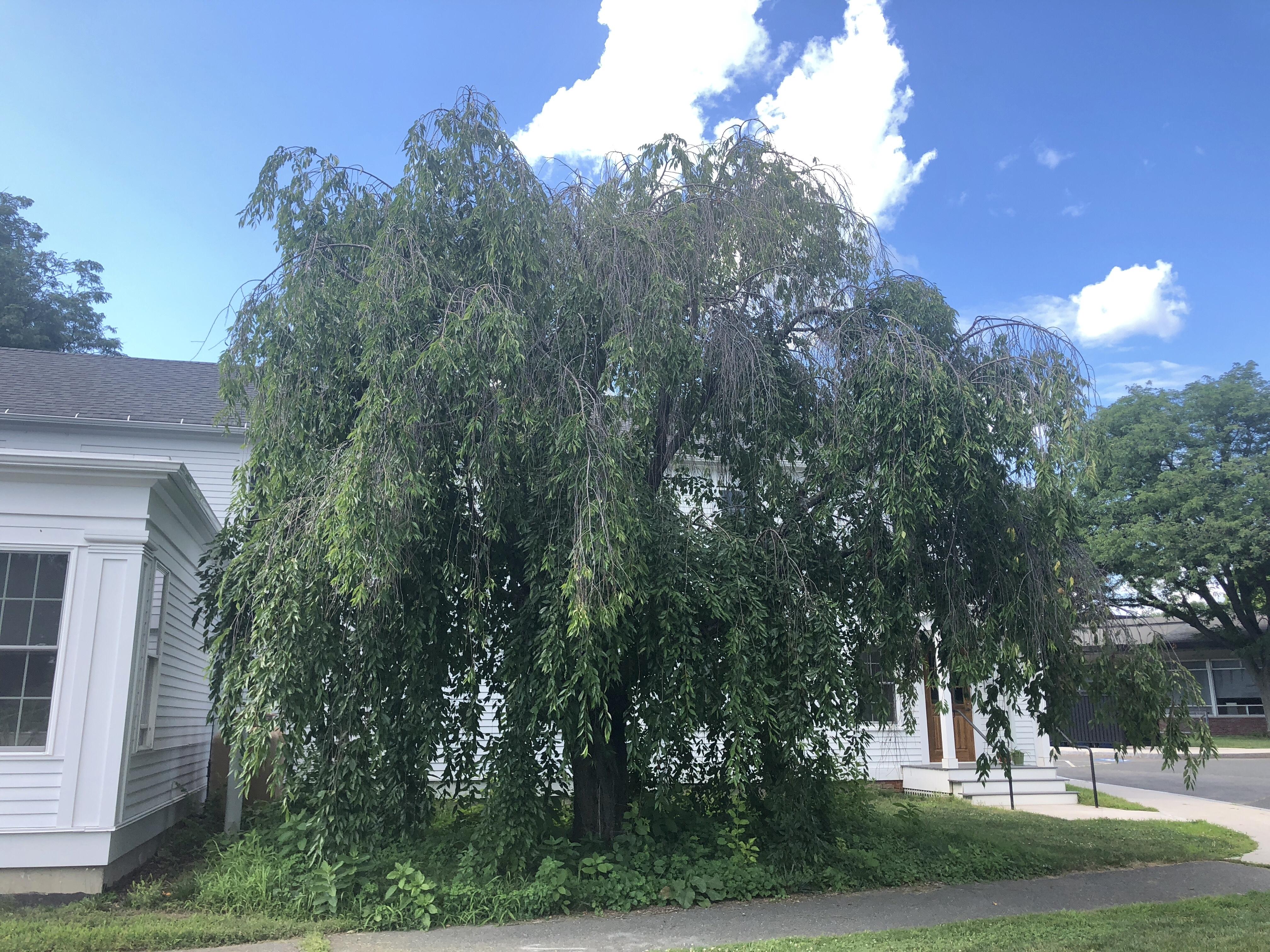 Ruth Hooke Weeping Cherry Tree