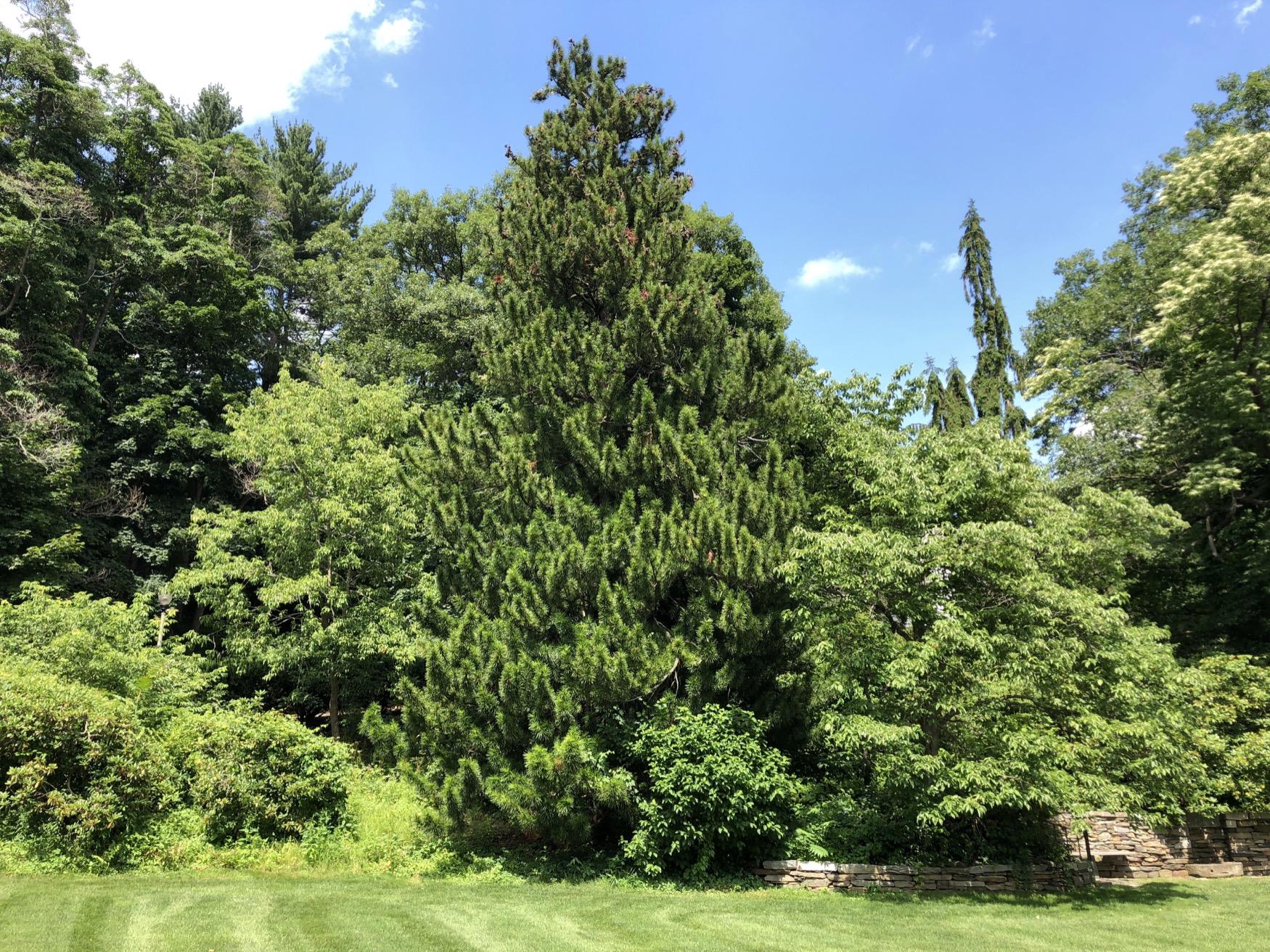 Umbrella Pine Heritage Tree