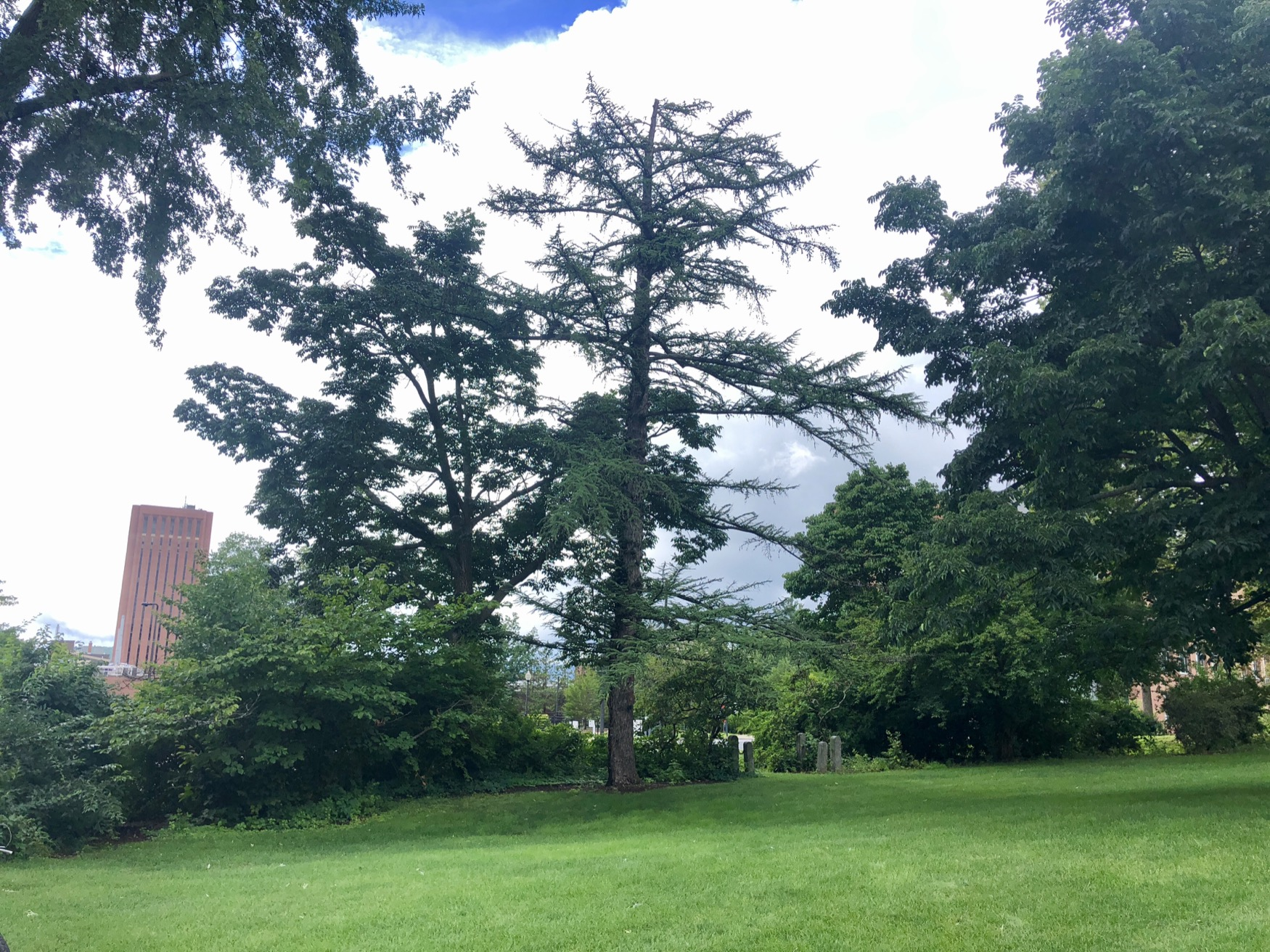 Japanese Larch Champion Tree