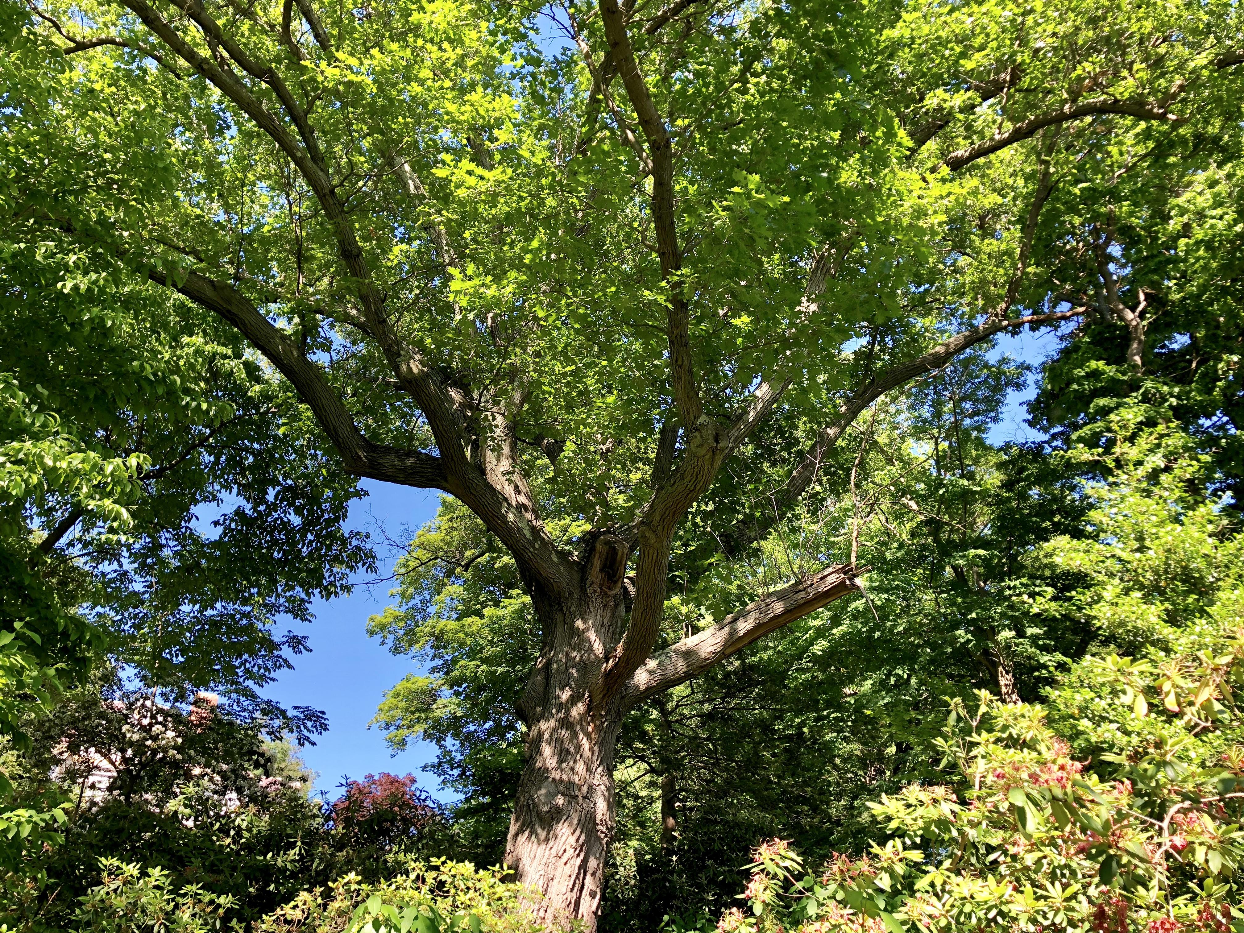 Black Oak Heritage Tree