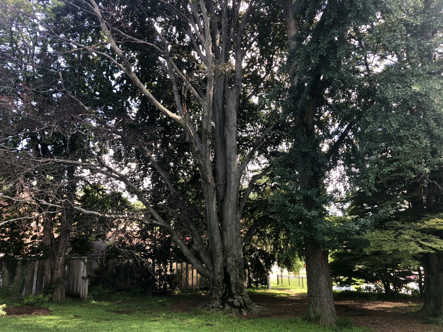 Copper Beech Heritage Tree
