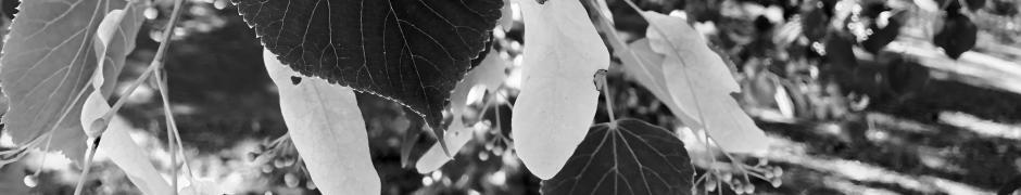 Chestnut Oak Tree