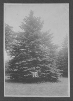Class of 1876 tree, ca. 1926