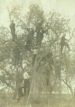Class of 1910 students pruning an apple tree, ca. 1910