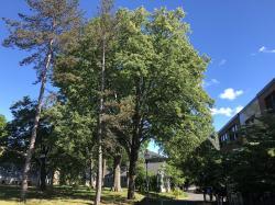 European Linden Tree