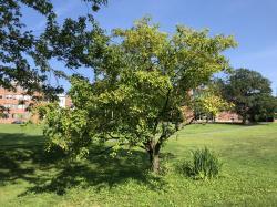 Susan Marie Galligan Crabapple Tree