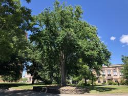Katsura Heritage Tree