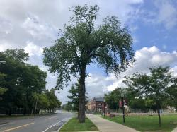 American Elm Heritage Tree
