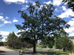 1904 MAC White Oak