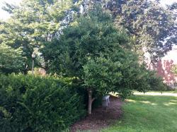 2013 SSA Star Magnolias