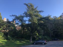 European Larch Heritage Tree