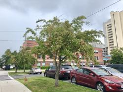 Francis W. Holmes Crabapple Trees