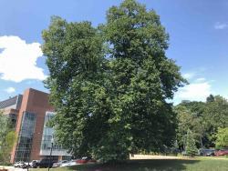 European Linden (shown), English Oak Tree Removal Location
