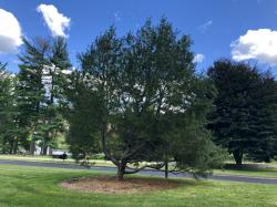 1995 UMA Lacebark Pine