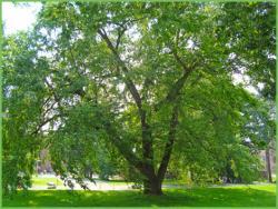 River Birch Heritage Tree