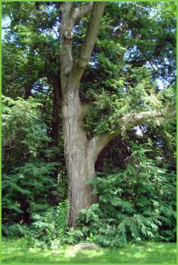 Richard Sahla Tribute Tree