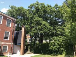 Swamp White Oak Tree