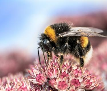 Pollinator Health and Ecology at UMass, Amherst