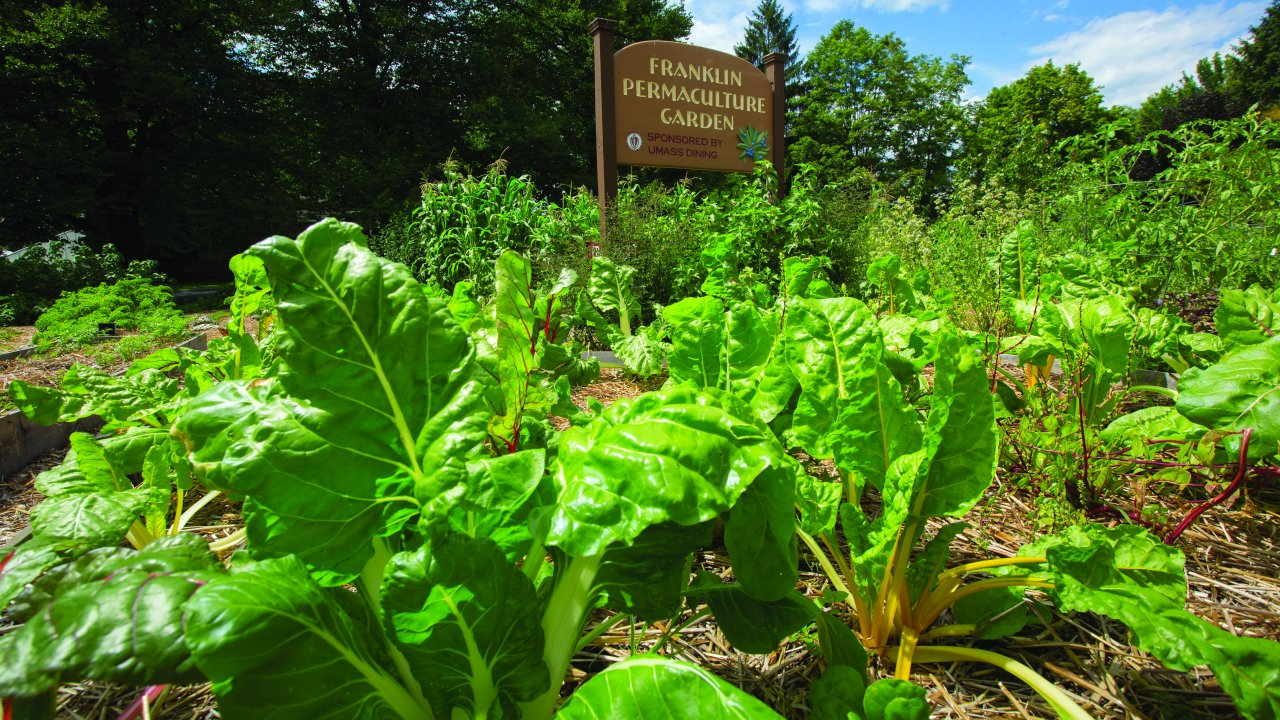 Rainbow and swiss chard growing below the Franklin Permaculture Garden sign