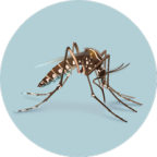 Photograph of mosquito