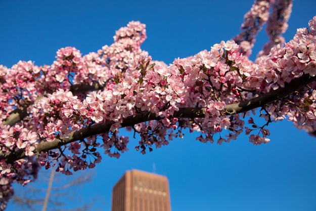 A blossoming cherry branch in the foreground, with Du Bois Library and a blue sky behind.